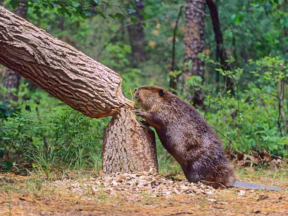 COLifeZones_Beaver_Trees.jpg