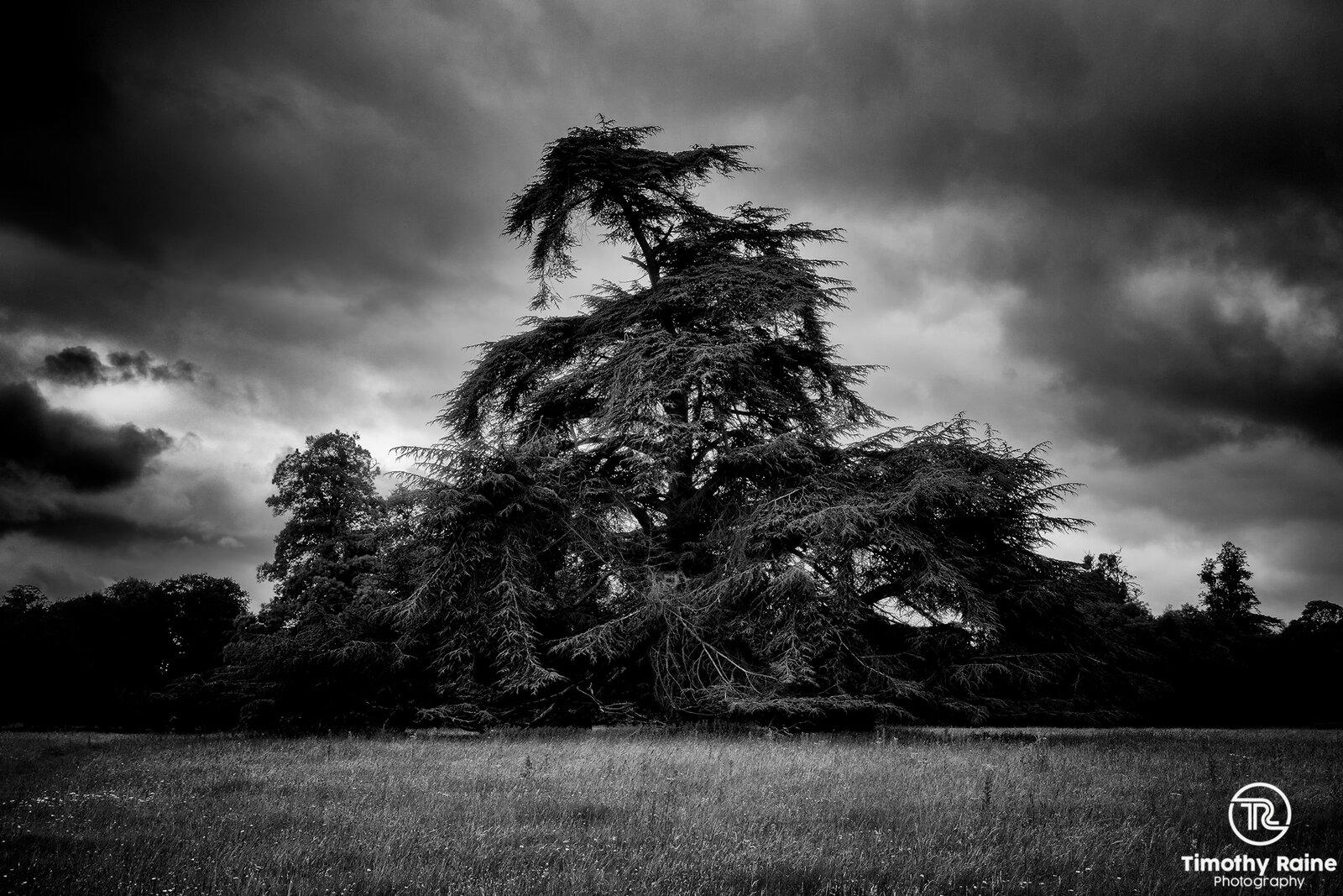 Funky fir tree.jpg