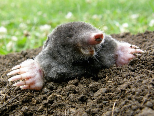 what_do_moles_eat_l2.jpg