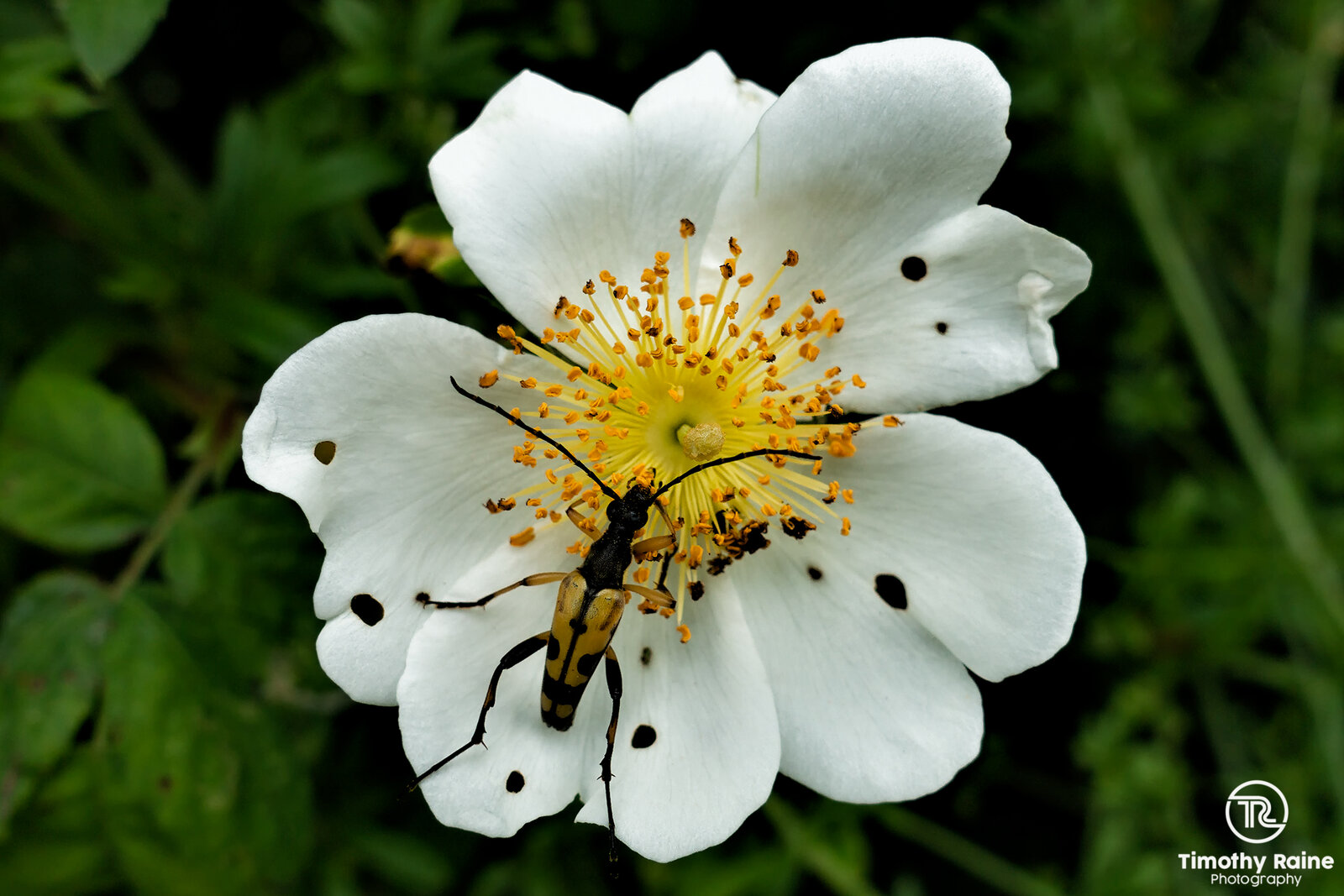 Yellow and black beetle on white flower.jpg